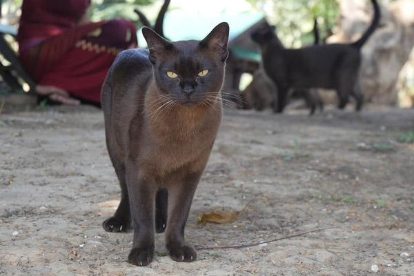 Бурманская черная кошка