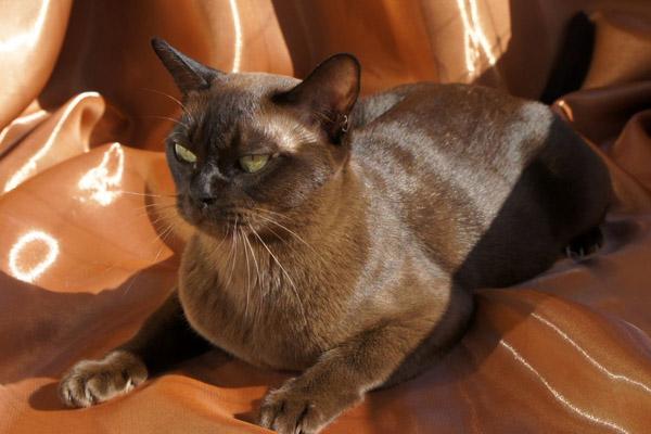 Блестящая шерстка кошки