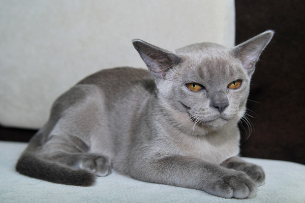 Бурманский кот голубой окрас