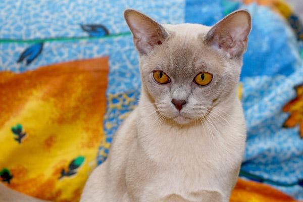 Мурманская кошка лиловый окрас