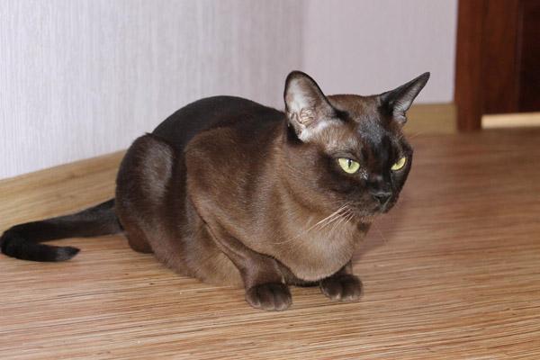 Бурманская кошка соболиного окраса