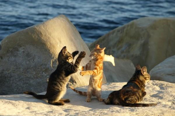 Коты играют на острове Кипр