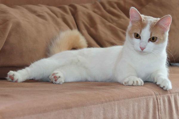бело рыжий кот лежит
