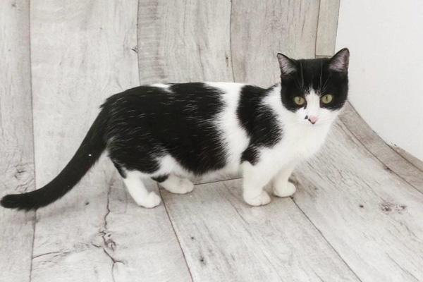 черно белая кошка