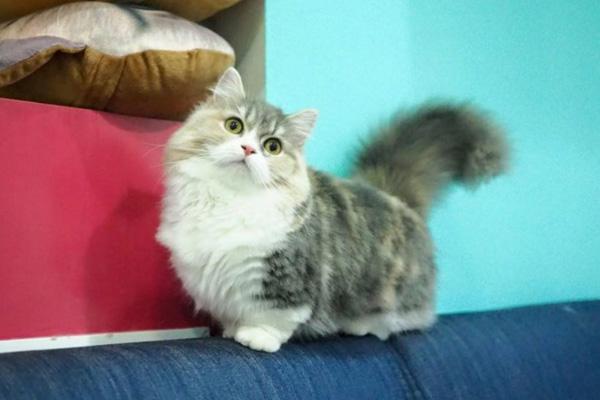 длинношерстная коротколапая кошка