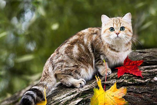 кошка красивый окрас