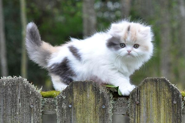 Длинношерстный котенок манчкин