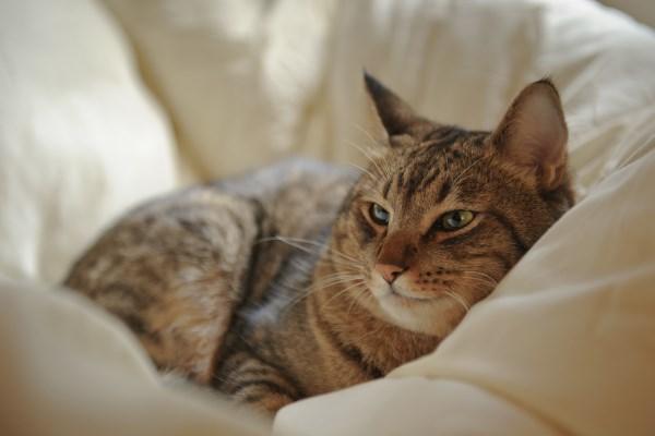 Взрослый кот отдыхает в одеяле