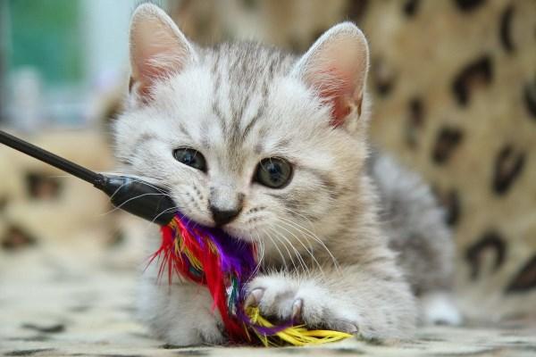 Котенок играет с палочкой