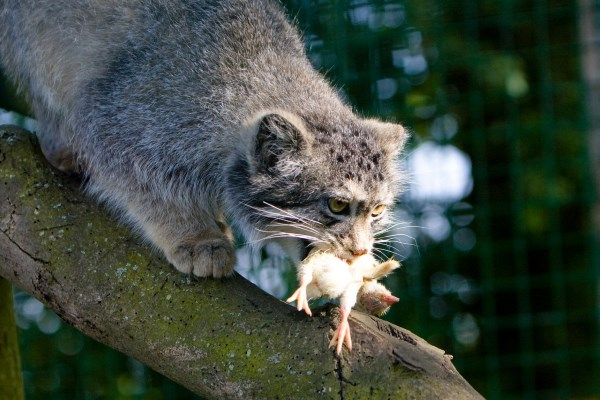 Кот-манул поймал птицу на охоте