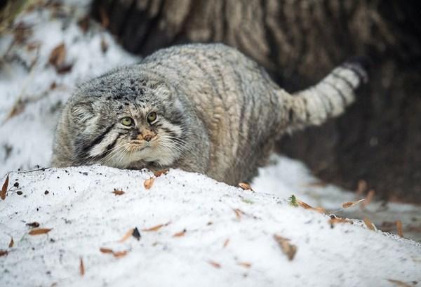 Манул охотится зимой