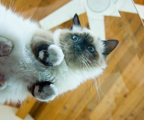 Коты на стеклянных столах: 23 забавных фото