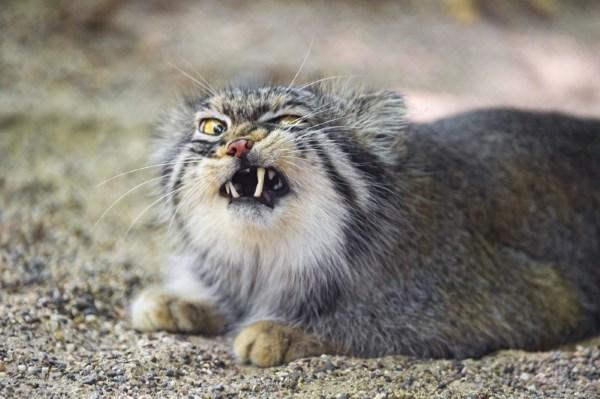 Злой манул показывает зубы