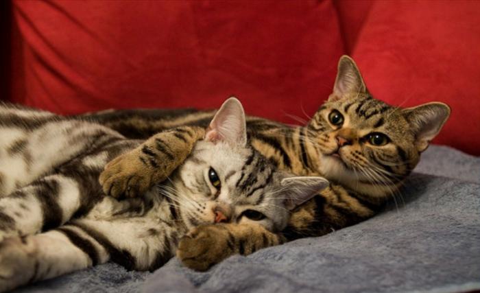 Две американские короткошерстные кошки обнимаются