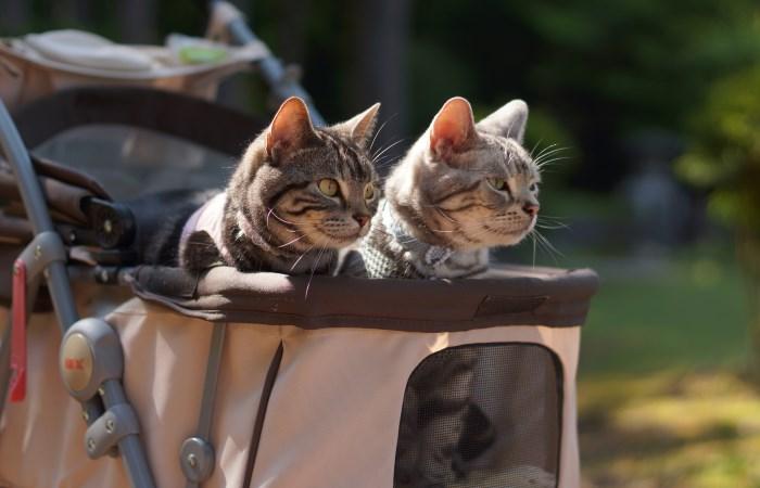 Две кошки гуляют в коляске