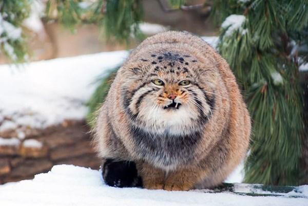 Кот-манул в снегу