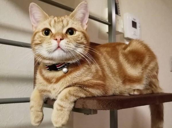 Кот окраса рыжий табби