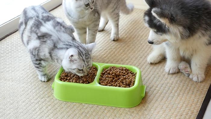 Два котенка американской короткошерстной и щенок хаски кушают