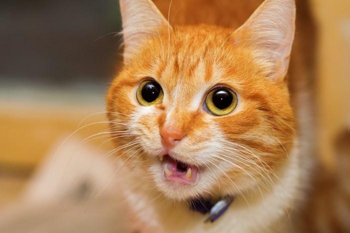 Шведские ученые выяснят, что говорят нам кошки