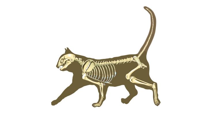 строение кошачьего хвоста