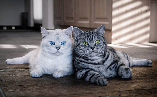 Как выбрать породу кошки