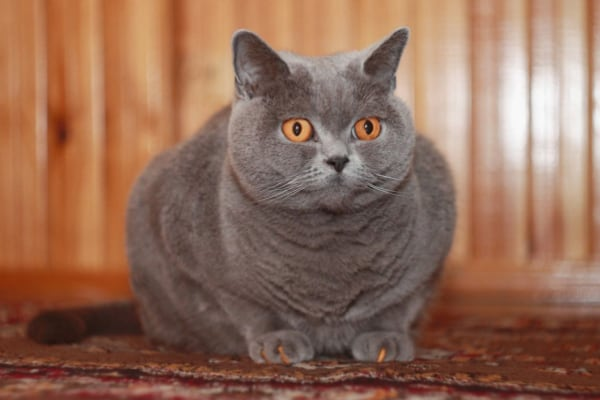 британская кошка голубой окрас