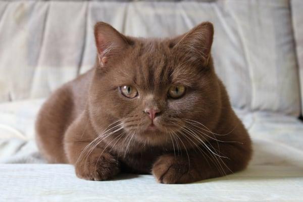 британская кошка шоколадный окрас