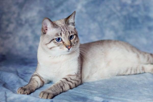 британская кошка окрас Линкс