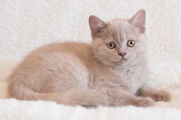 британская кошка лиловый окрас