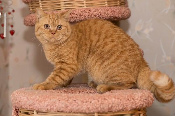 британская кошка красного рыжего окраса