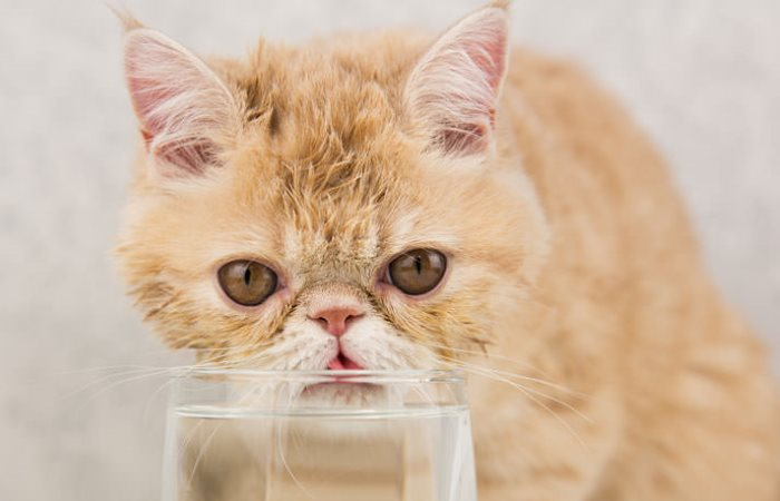 Экзотический кот пьет воду из стакана
