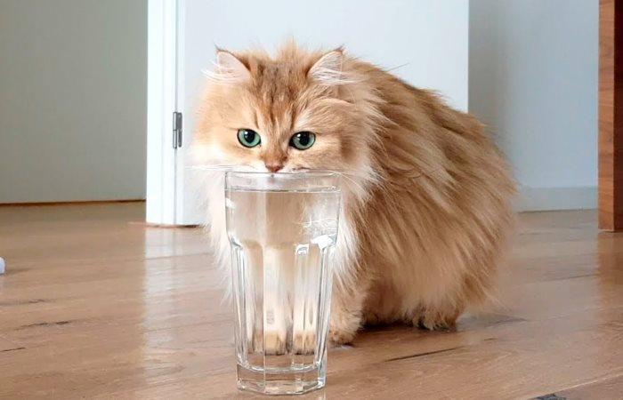 Хитрая кошка пьет воду из стакана