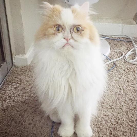 Новый Грампи Кэт - кот Луи с недовольной мордочкой