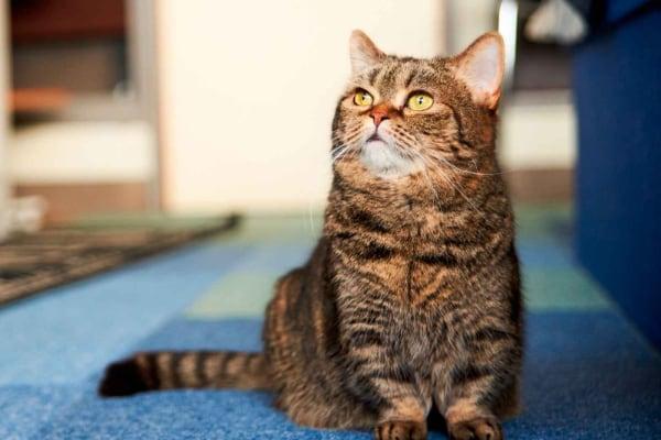 Описание породы кошек с маленькими лапками