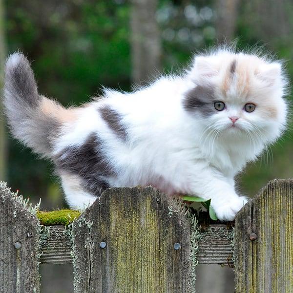 котенок с короткими лапками на заборе