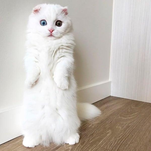 белый манчкин