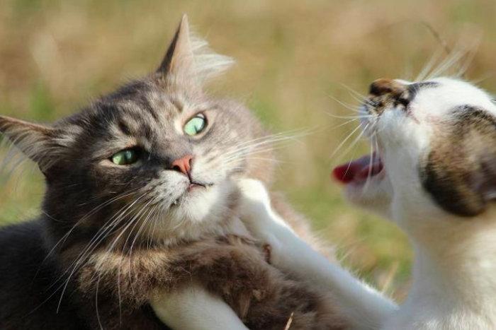 Особенности полового цикла у кошек