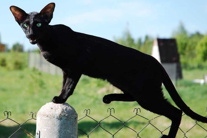 Стройная кошка