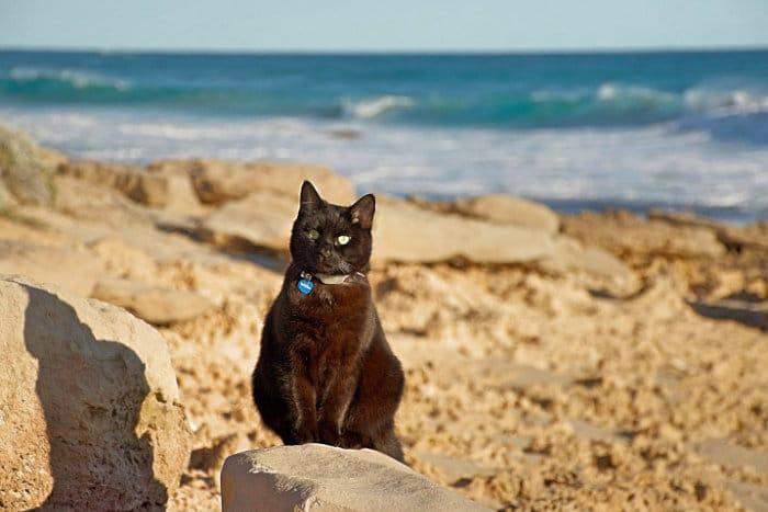 Кошки в Австралии стали причиной исчезновения видов
