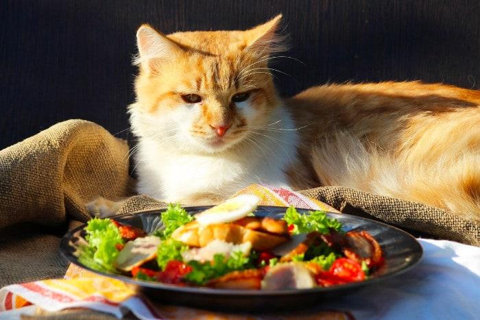 Недовольный кот смотрит на тарелку