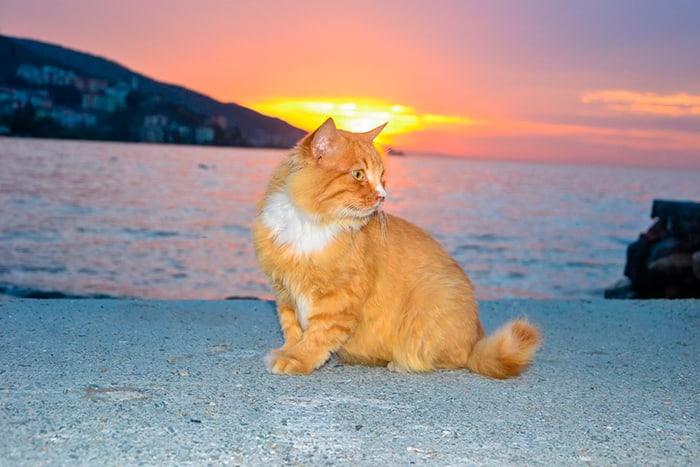 рыжий кот на пляже на закате