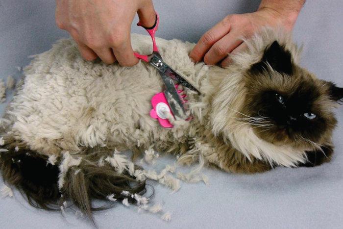 Кошке выстригают колтуны колтунорезом