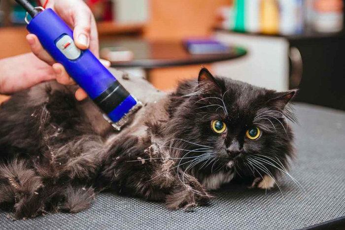 Черного кота бреют бритвой