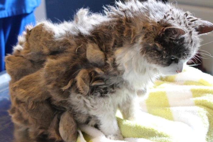 Грустный кот с колтунами
