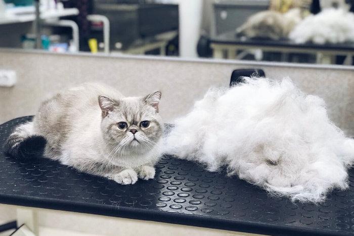 Белый кот сидит рядом с вычесанной шерстью