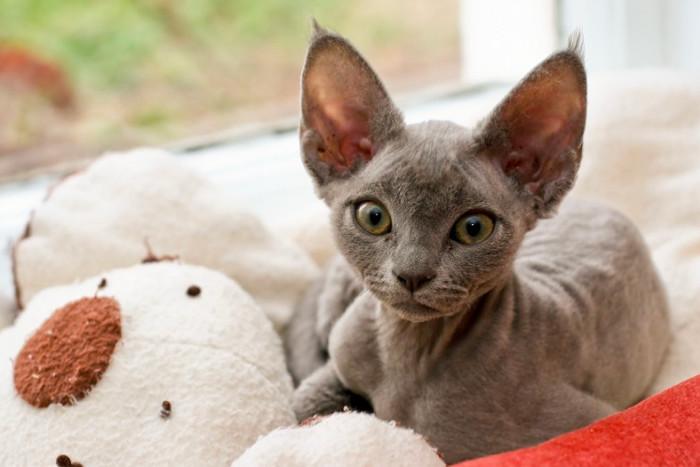 Котенок девон-рекса рядом с игрушкой