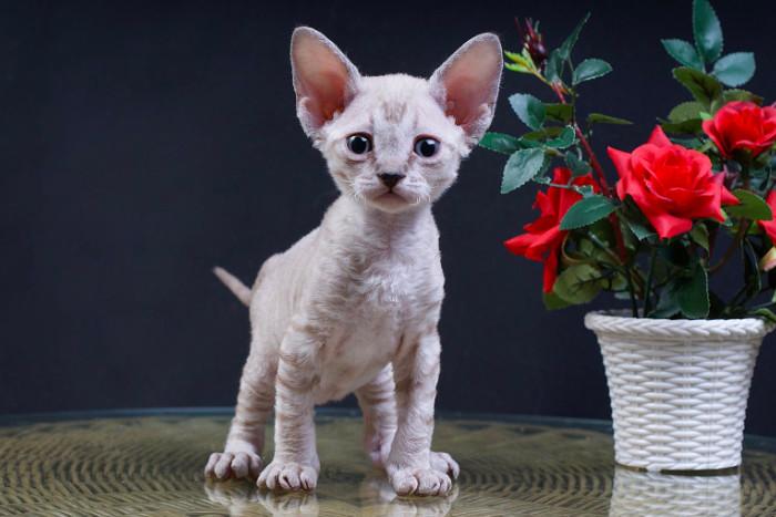 Котенок девон-рекса рядом с цветами